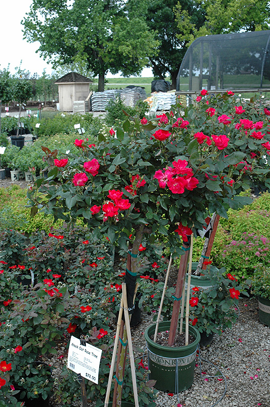 Knock Out Rose Tree Rosa Radrazz At Ray Wiegand S Nursery