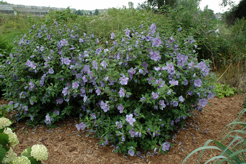 Blue Chiffon Hibiscus | Spring Meadow - wholesale liners ...  |Blue Chiffon Hibiscus Bush