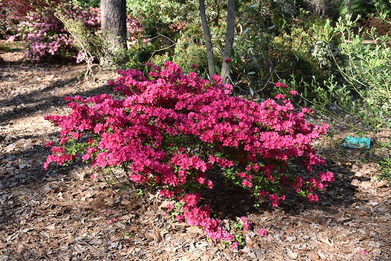Girard S Fuchsia Evergreen Azalea Rhododendron At Ray Wiegand Nursery