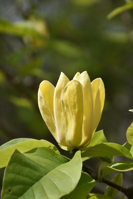Yellow bird magnolia magnolia yellow bird in macomb michigan yellow bird magnolia magnolia yellow bird at ray wiegands nursery mightylinksfo Gallery