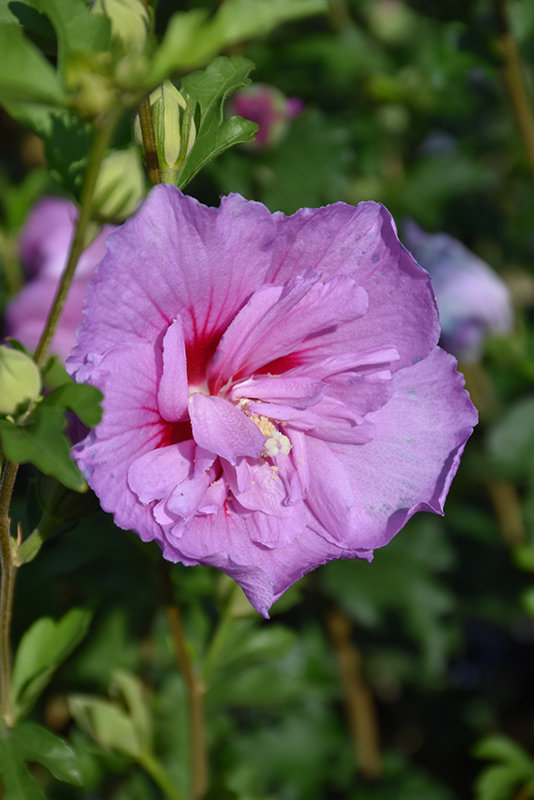 Lavender Chiffon Rose Of Sharon Hibiscus Syriacus Notwoodone In